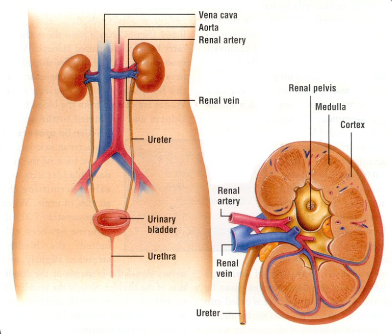 Excretory System Diagram Unlabeled Diagram of The Excretory